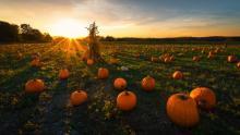 A field of pumpkins at sunset